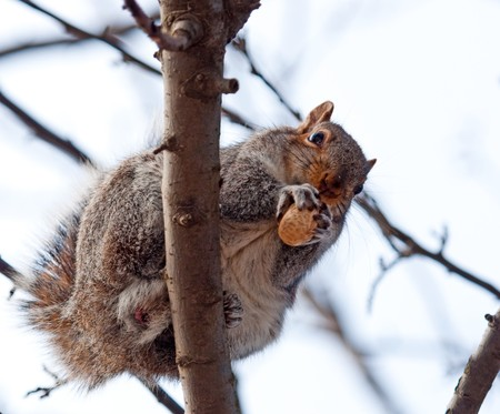 The squirrel on a tree holds nut in both pads Stock Photo