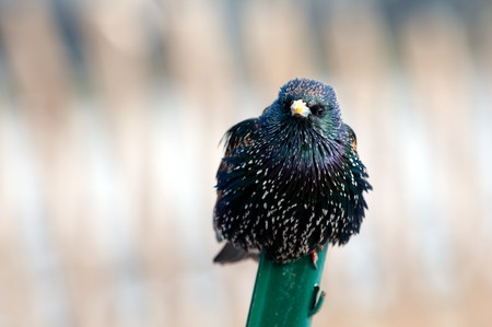 The curious starling on a metal stick has noticed the photographer