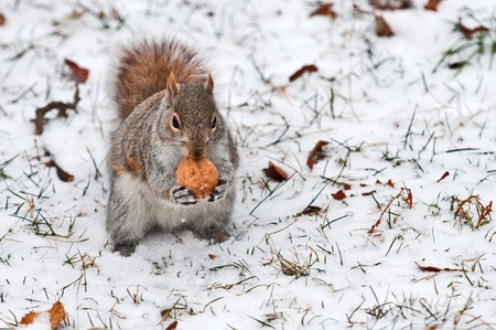 Red squirrel on white snow holds in pads a walnut going to have dinner