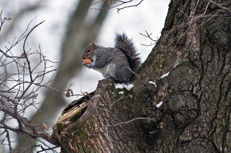 The squirrel on branch of tree against the blue sky holds a nut in forward pads
