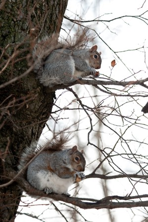 Two squirrels on a tree holds wood nut in both pads having dinner Stock Photo