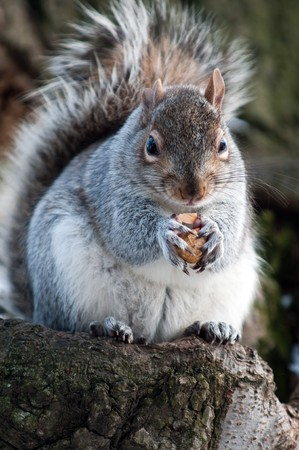 The squirrel on branch of tree holds a nut in forward pads Stock Photo
