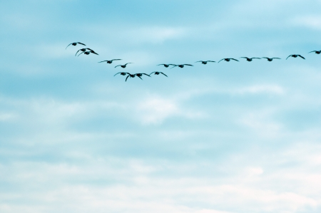 Flying geese in formation of v shape against the blue sky