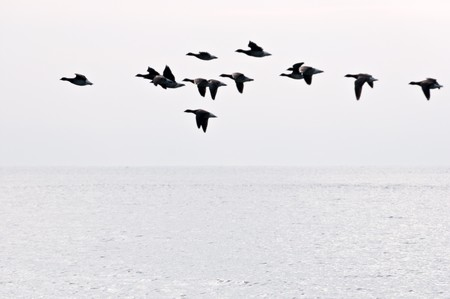 The flight of geese flies over ocean in search of island for rest photo