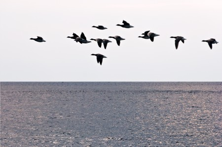 The flight of geese flies over ocean in search of island for rest