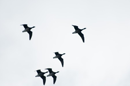 Flying geese in formation of v shape against the grey sky