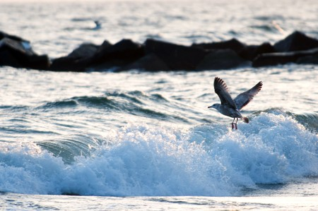 Seagull over waves at an ocean coast before a sunset