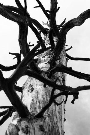Burnt, dead Ponderosa Pine tree in Kaibab National Forest, Arizona, USA.