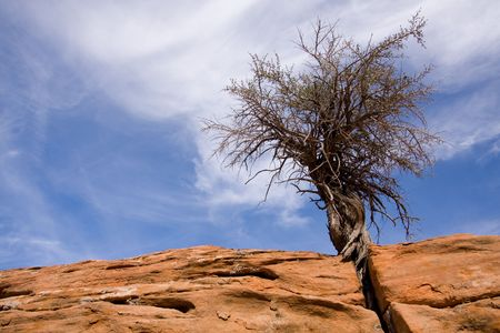 Small Juniper tree growing out of crack in sandstone rock with blue sky and clouds in background inside of Zion National Park, Utah, USA. Banco de Imagens