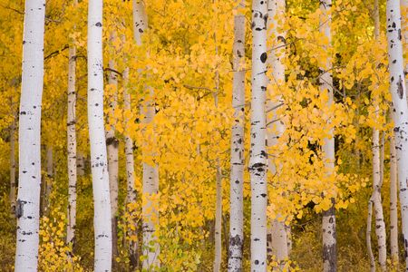 View of colorful Aspen trees in early Autumn. Stock Photo - 5927539