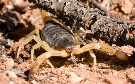 Macro shot of Giant Hairy desert scorpion in its natural habitat, Arizona desert, USA. Stock Photo - 6047955