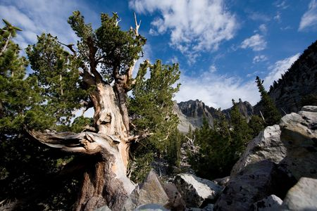 nevada: Bristlecone pine tree with Wheeler peak in background. Great Basin National Park, Nevada, USA.