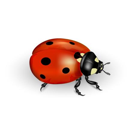 lady beetle: Realistic ladybug isolated on a white background illustration
