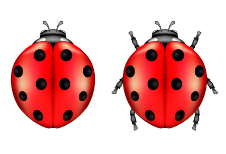 Two ladybugs isolated on a white background, illustration  Vector