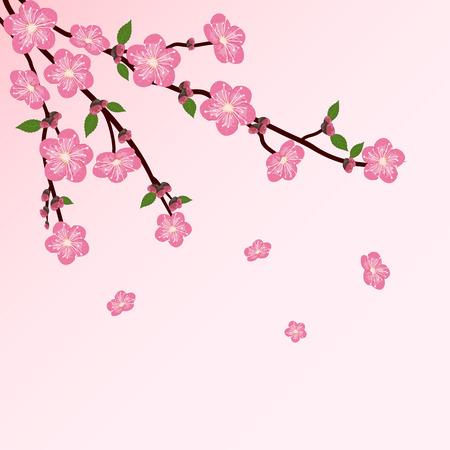 peach blossom: Cherry tree blossom on pink background, illustration  Illustration