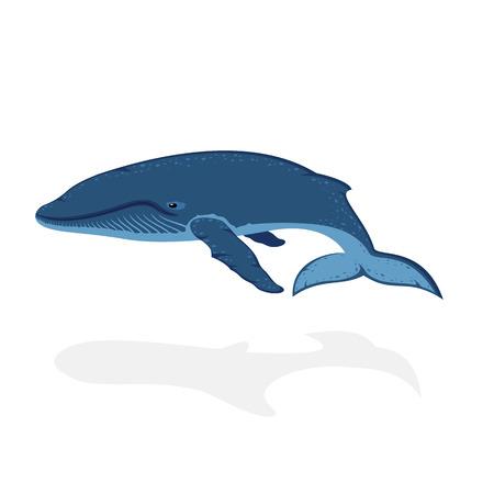 ballena azul: Ballena azul aislado en fondo blanco, ilustraci�n.