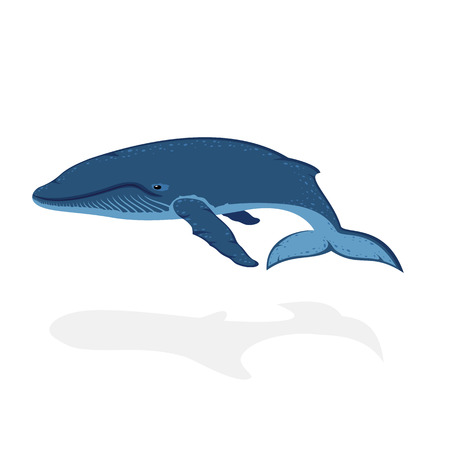 whale underwater: Blue whale isolated on white background, illustration.