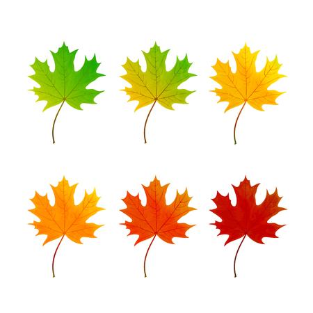 white background illustration: Set of multicolored maple leaf isolated on white background, illustration. Illustration