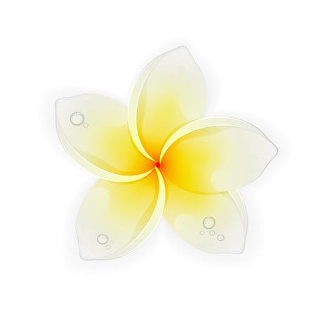 frangipani flower: Frangipani flower with drops isolated on white background, beautiful Hawaiian white yellow plumeria, illustration. Illustration