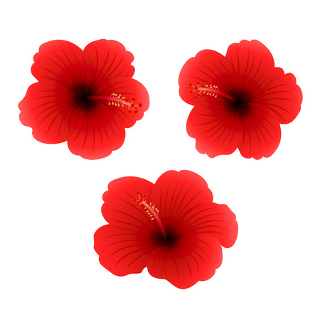isolated on red: Set of three red Hibiscus isolated on white background, beautiful Hawaiian flowers, illustration.