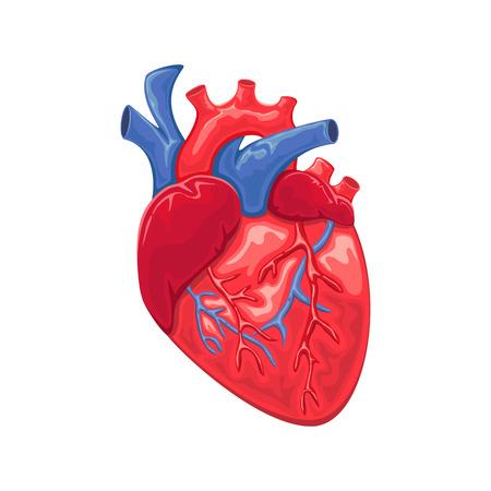 Heart anatomy isolated on white background, illustration. Vector Illustration