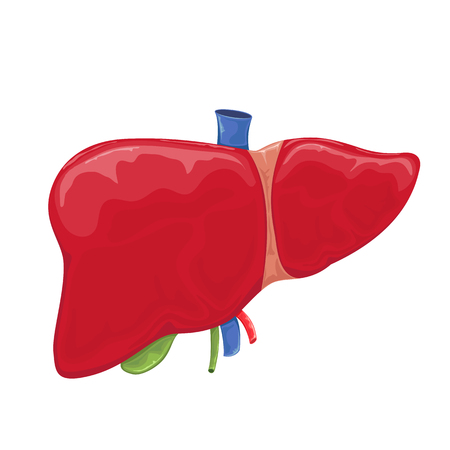 Human liver isolated on white background, illustration.
