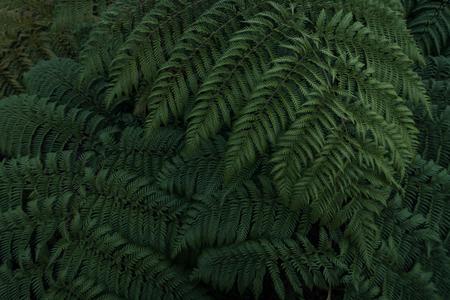 Dark green ferns