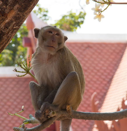 primate: A small to mediumsized primate that typically has a long tail most kinds of which live in trees in thai temple.