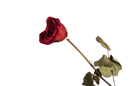 Red wilted rose on a white background, isolate