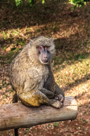 baboon poses on a wooden beam