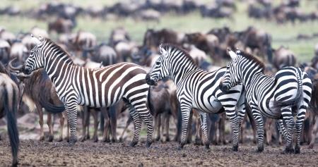 grazed: the herd of zebras is grazed in the savanna Stock Photo