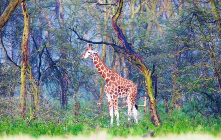 wildlife reserve: lonely giraffe in the magic fantastic wood