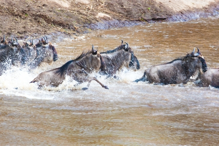 Wildebeest river crossing during the 2008 migration