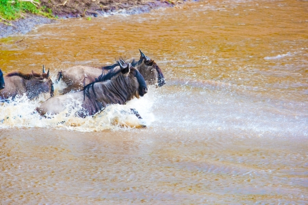 wildlife reserve: Wildebeest river crossing during the 2008 migration