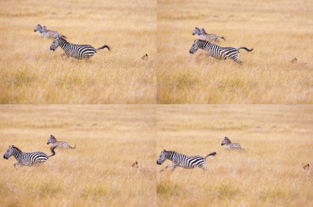 the zebra in horror runs from a lioness, a series of shots Stock Photo - 17586963