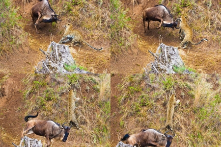 unsuccessfully: the young leopard unsuccessfully hunts on an antelope of a gnu a series of shots Stock Photo