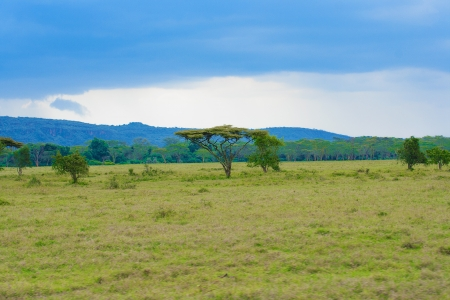Landscape with alone tree in savannah on the Masai Mara National Reserve - Kenya Imagens