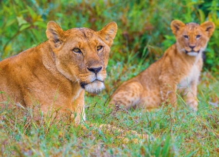 escorting: A mother lioness escorting her young cubs through Kenya