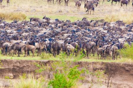 bovid: Wildebeest crossing the Mara river Republic of Kenya   Stock Photo