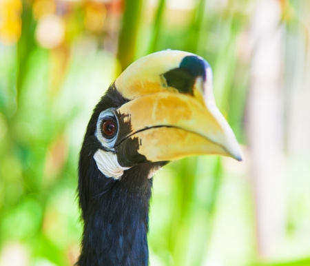 Wreathed Hornbill (Aceros Undulatus),Bali - Indonesia photo