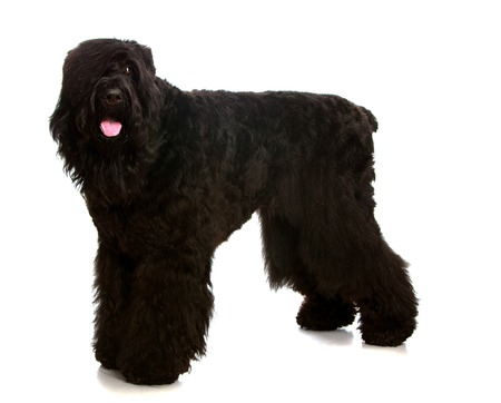 shaggy: Large black shaggy dog tired standing on white background