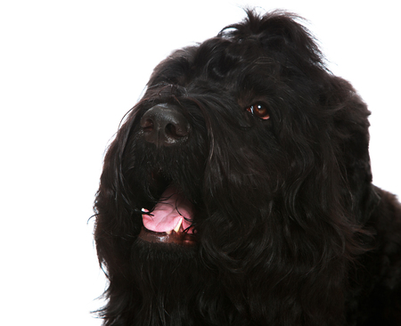 large dog: Large black shaggy dog closeup-Isolated on white background