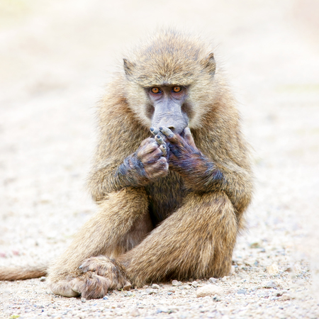 Baboon sits on the ground and looks at his paw. Wild nature.
