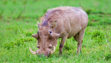 Warthog in Nakuru National Park, Kenya.