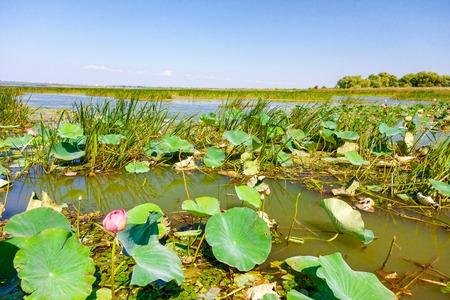 Flores de loto entre el gran lago.