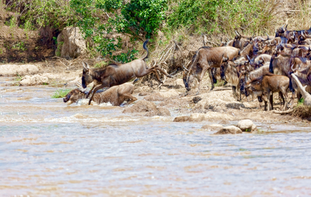 Crossing. Kenya. National park. The wildebeest and the zebras cr Stock Photo