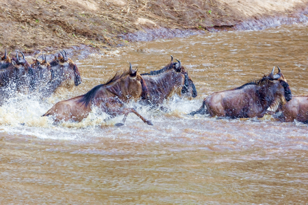 Crossing. Kenya. National park. The wildebeest and the zebras cr