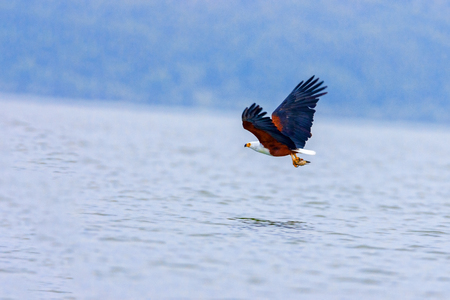 The eagle hunts on lake Nakuru. Kenya.