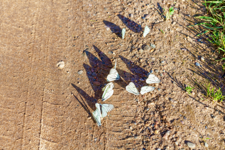White butterflies sit on the road