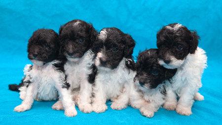 five adorable black and white poodle puppies Фото со стока